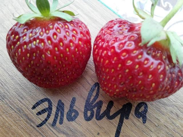 Клубника эльвира: описание сорта, отзывы, фото, урожайность