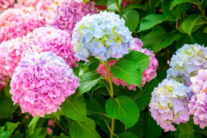 Пересадка гортензии: как ее пересаживать с одного места на другое: летом в июне, весной и осенью? как правильно пересадить цветущую гортензию?