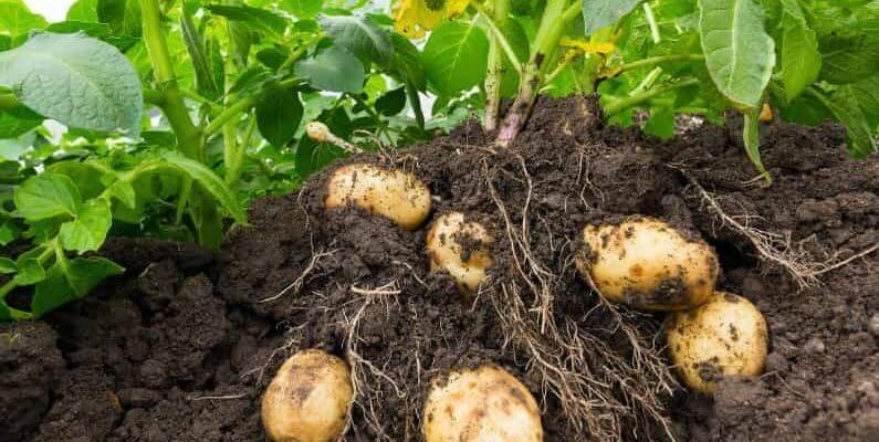 Картофель винета - описание сорта и его особенности