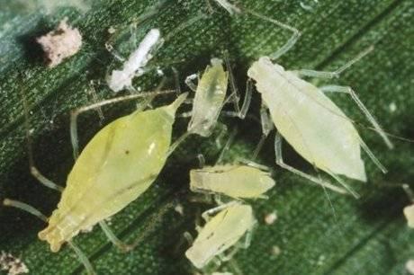 Вред тли на перце. как избавиться от насекомого?
