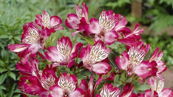 Альстромерия: выращивание в открытом грунте