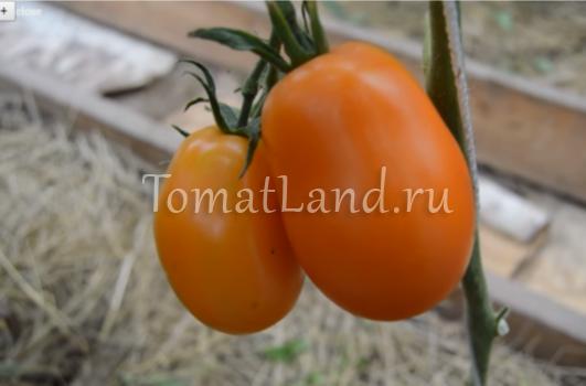 Томат лисичка - описание сорта, характеристика, урожайность, отзывы, фото