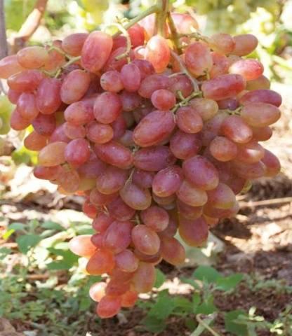 Виноградные гибриды «дарья», «даша» и «дашуня» — это не один вид, названный по-разному, а просто тёзки!