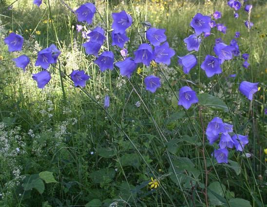 Цветок колокольчик: описание видов и рекомендации по выращиванию
