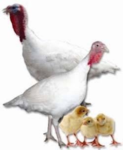 Комбикорм для индюков: стартовые корма purina для индюшат с первого дня жизни. как сделать состав своими руками? можно ли кормить индеек свиным и куриным комбикормом?