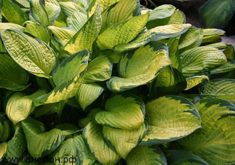 О хосте голд стандарт (описание сортового растения, агротехника выращивания)