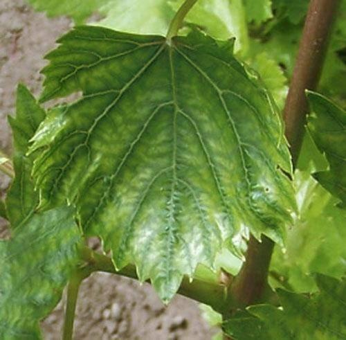 Цвет листьев винограда: о чем говорит, причины изменения цвета