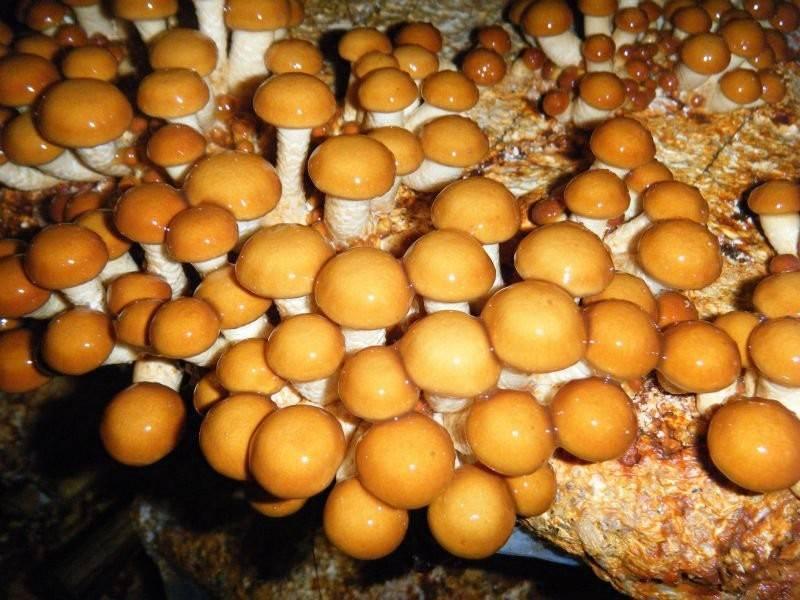 Гриб чешуйчатка обыкновенная - описанте, произростание. фото и видео.