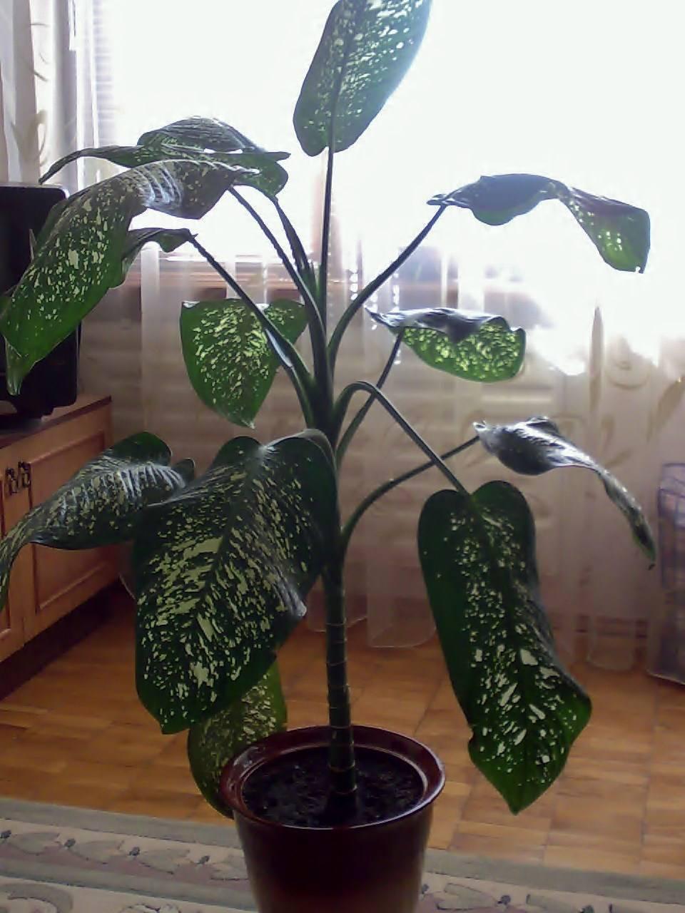 Диффенбахия (dieffenbachia) – уход, фото, виды