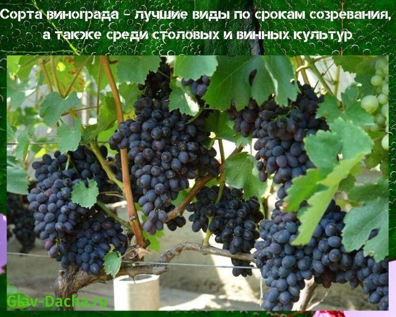 Виноград декабрьский: описание сорта, фото и отзывы садоводов
