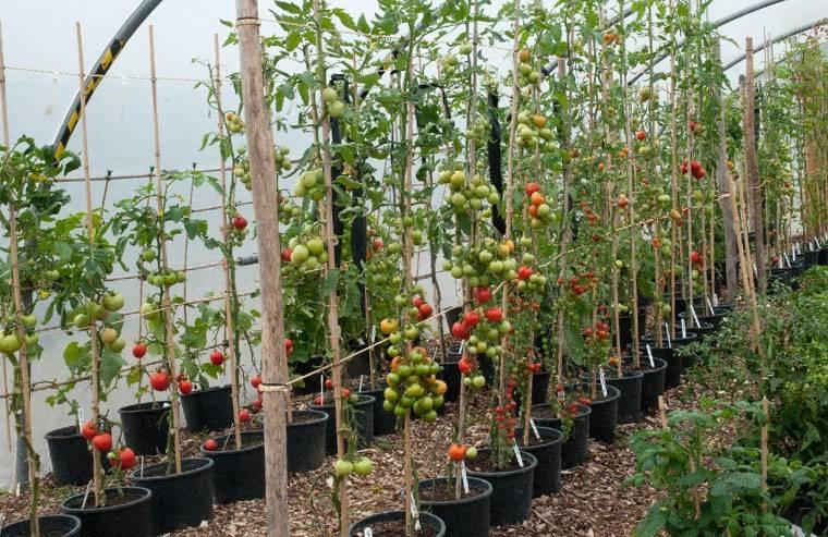 Как правильно подвязывать помидоры в теплице фото