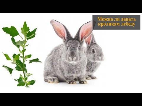 Можно ли давать кроликам лебеду - сельская жизнь