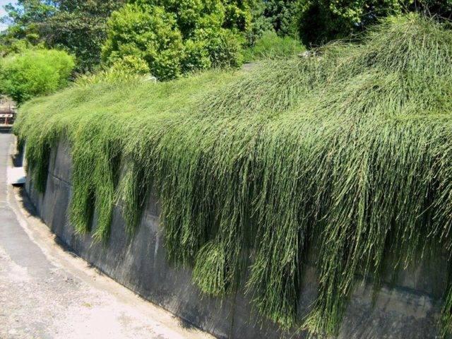 Туя складчатая випкорд (вайпкорд, whipcord): посадка и уход, фото в ландшафтном дизайне, особенности выращивания - растения и огород