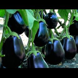 Баклажан «клоринда» f1: отзывы, фото, описание голландского сорта, посадка и уход, особенности выращивания, урожайность гибрида, вкус