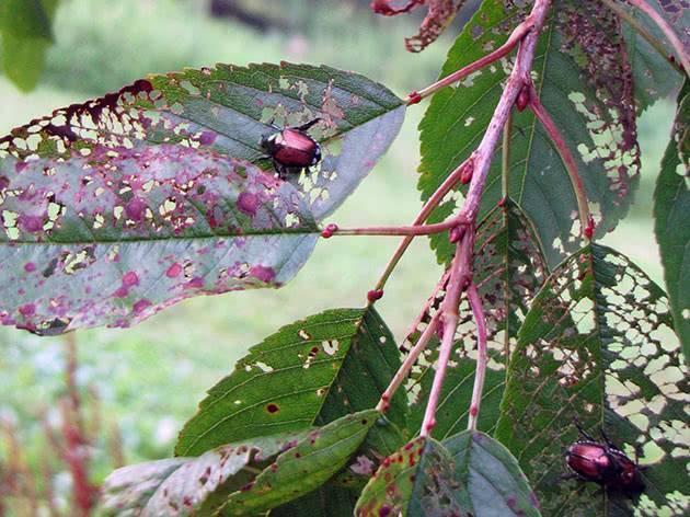 Способы борьбы с болезнями и вредителями черешни