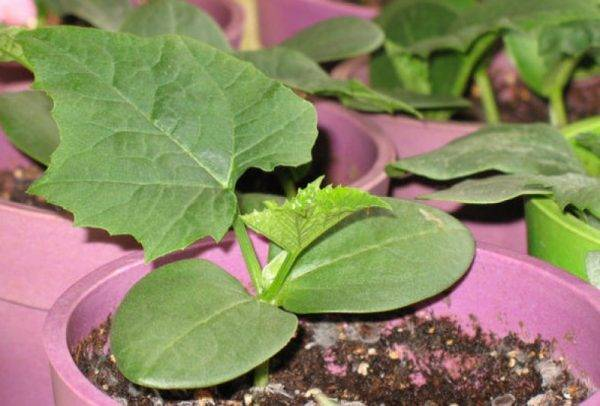Агротехника выращивания люффы: посадка и уход