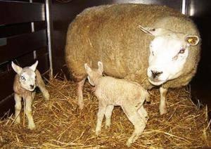 ᐉ овцы породы тексель: описание и характеристика - zooon.ru