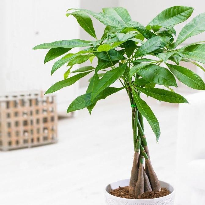 Пахира: уход в домашних условиях, акватика и другие комнатные сорта, размножение цветка, что делать если желтеют и опадают листья?