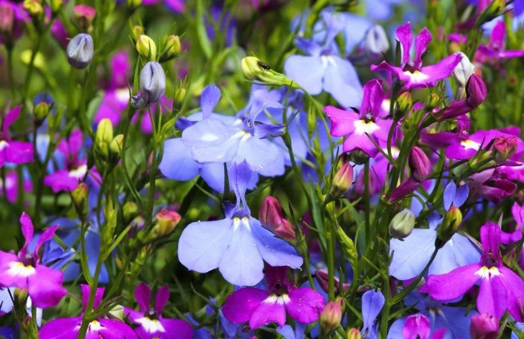 Выращивание лобелии из семян. посадка и уход в домашних условиях. фото — ботаничка.ru