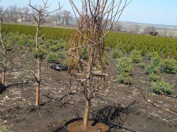 Как правильно посадить грушу осенью: на урале, в подмсоквье