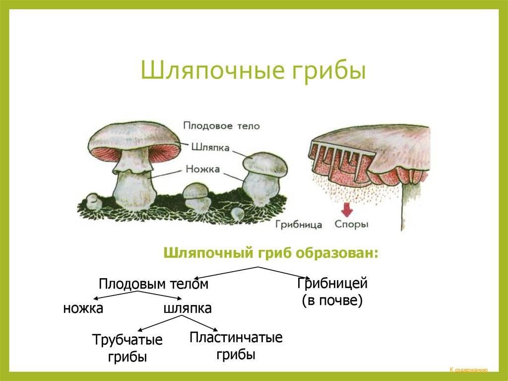 Плодовое тело гриба