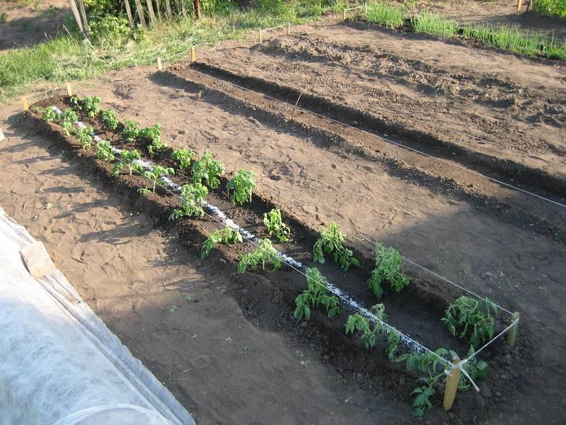 Как правильно посадить помидоры на рассаду дома или в квартире