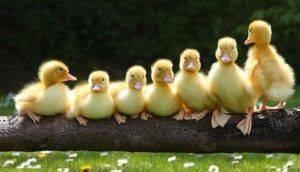 Итальянские — птицеводство. разведение гусей -> породы гусей -> средние гуси