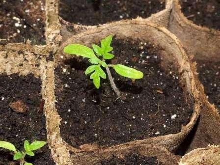 Как и чем подкормить рассаду огурцов