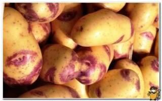 Картофель синеглазка: описание сорта, фото, характеристики