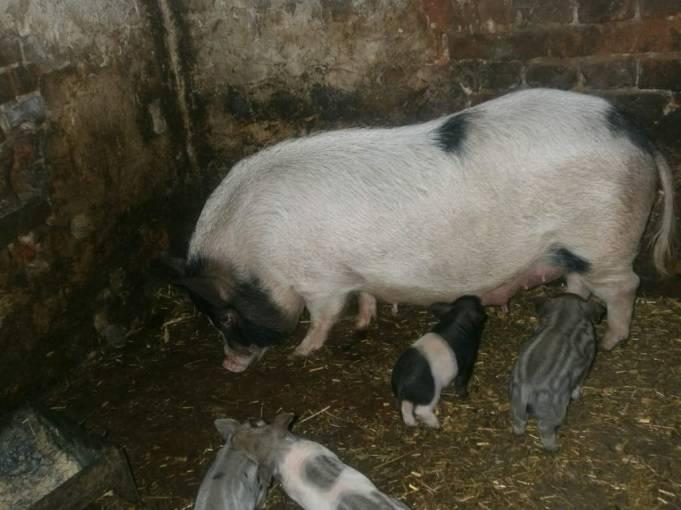 Кармалы порода свиней: фото, характеристики и советы по уходу