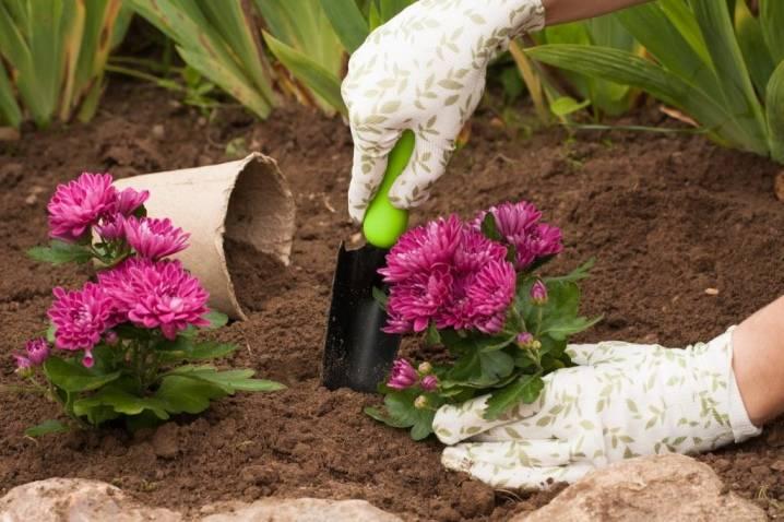 Многолетние хризантемы: разновидности, посадка и уход