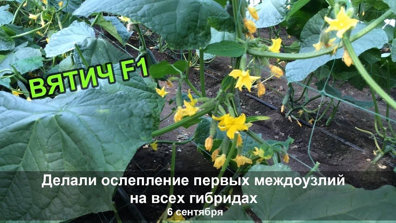 Огурец вятич f1: описание сорта, отзывы, фото, урожайность