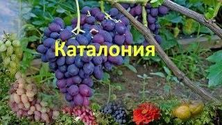 Каталон летний — виноград