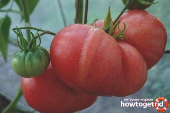 Помидоры хурма — самые полезные и вкусные желтые томаты