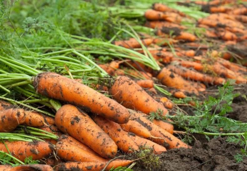 Морковь тушон: описание сорта, отличия, правила выращивания, болезни и вредители русский фермер
