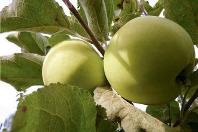 Яблоня ветеран: описание сорта, особенности выращивания