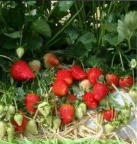 Клубника фриго | во саду и в огороде