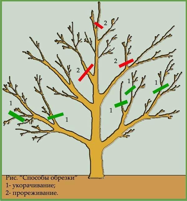 Обрезка яблонь весной: схемы для молодых и старых деревьев, советы для начинающих