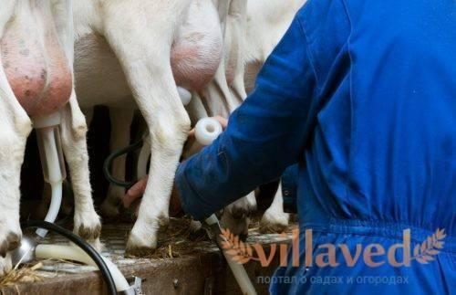 Станок для доения козы своими руками чертежи