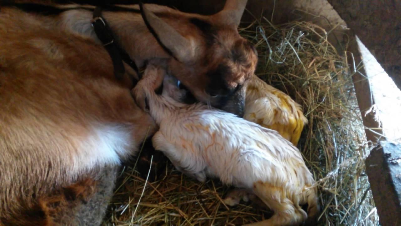 Принимаем роды у козы – признаки окота и подготовка к козлению