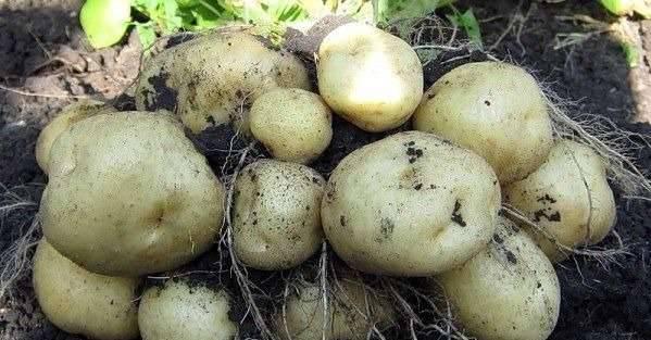 Картофель сказка: описание и характеристика, отзывы