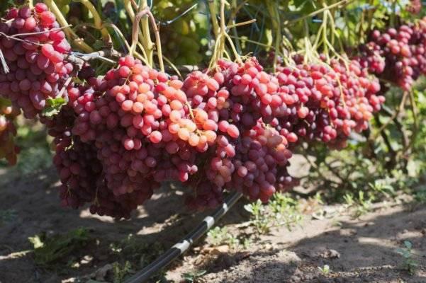 Описание винограда велес: вкусовые, транспортные качества