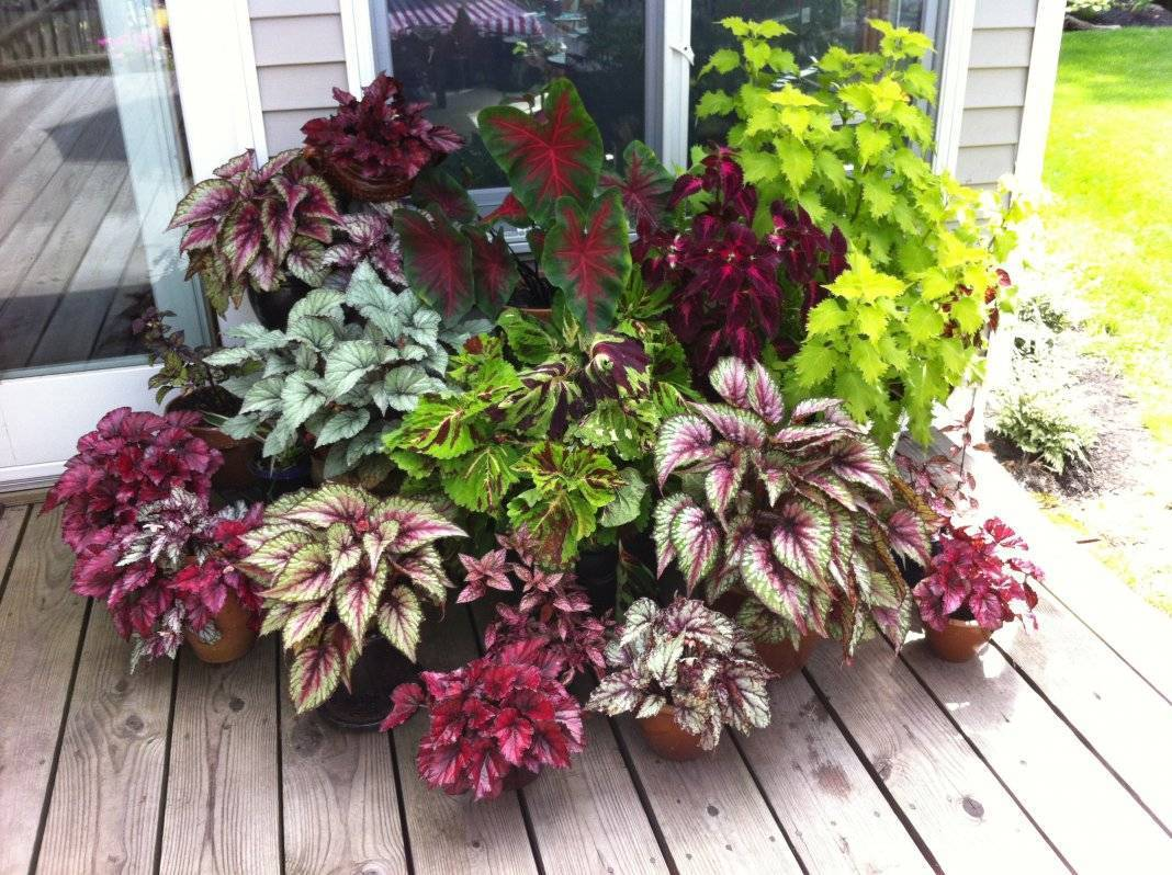 Выращивание бегонии ампельной из семян: как посадить рассаду? посадка сортов «шансон» и «гавриш алькор f1» в домашних условиях