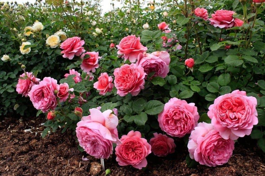Обрезка роз весной для начинающих и опытных садоводов