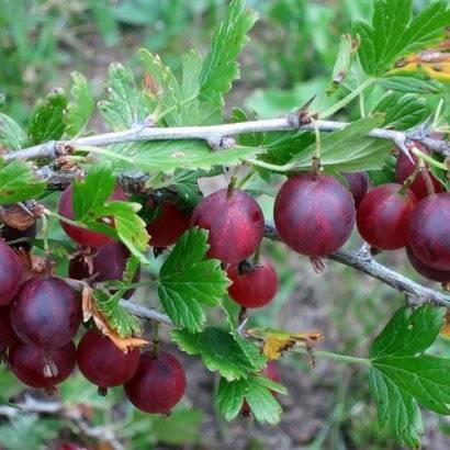 Крыжовник финик: описание финикового сорта, отзывы садоводов, технология посадки, выращивания и размножения