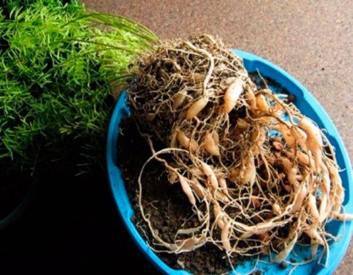 Аспарагус перистый: описание, уход в домашних условиях, фото selo.guru — интернет портал о сельском хозяйстве
