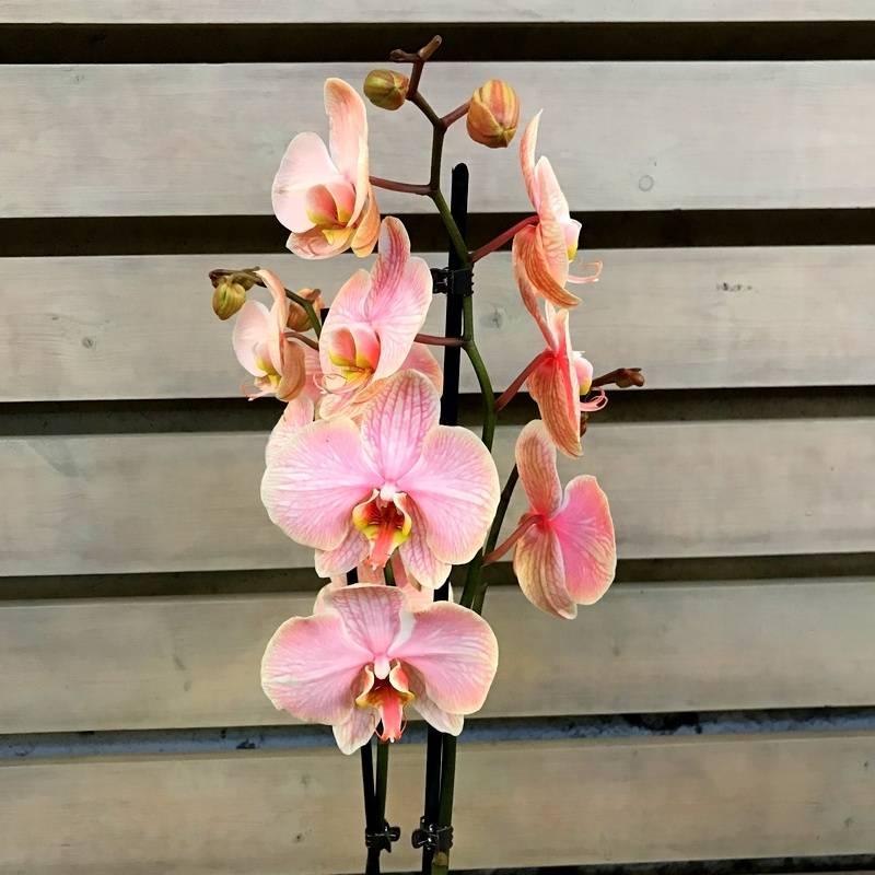 5 самых популярных и простых в уходе драгоценных орхидей на supersadovnik.ru