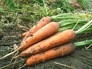 Лучшие сорта моркови с описанием на любой вкус и цвет