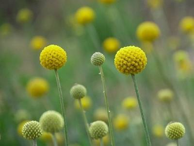 Краспедия: фото, виды, выращивание из семян