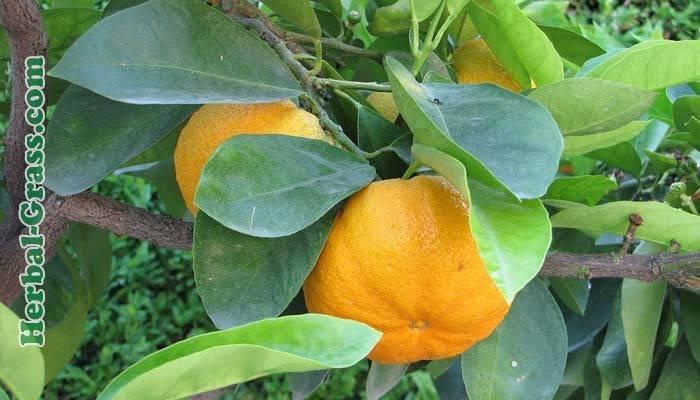 Горький апельсин (померанец): происхождение и регионы произрастания дикого фрукта, его применение в разных сферах, полезные свойства